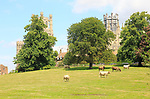 Cattle graze in parkland field next to the cathedral church, Ely, Cambridgeshire, England, UK