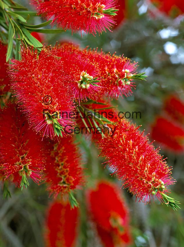 New Zealand, Rata Tree   Neuseeland, Rata Baum