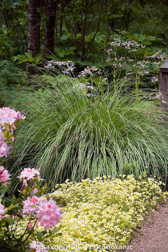 Carex nudata -  Black Flowering Sedge along path in naturalistic California native plant garden with flowering azalea and wildflowers