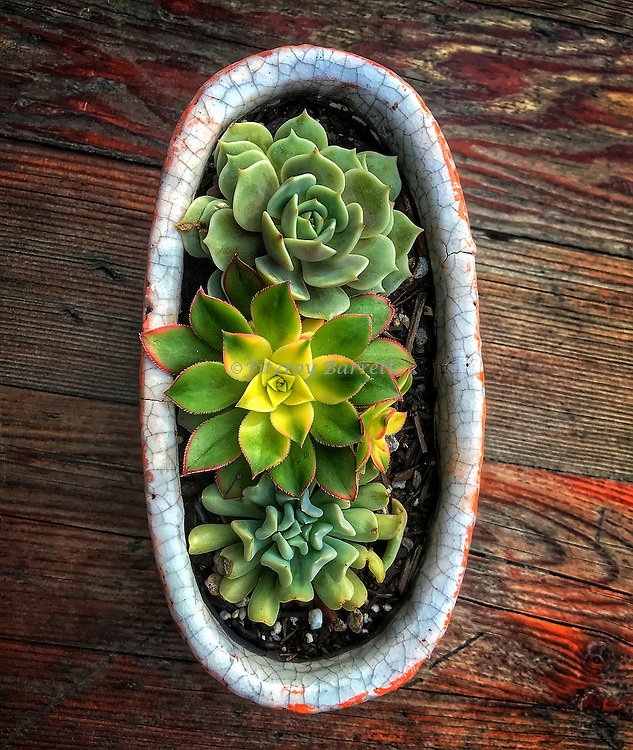 Succulents On Table. December 26, 2016 ©Fitzroy Barrett