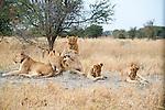 Lion Family Resting in Moremi Animal Reserve in Botswana in Africa