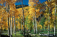 Fall color in aspen trees