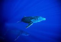 A Humpback Whale calf( Megaptera novaeangliae) rises to the surface to breathe under the watchfull eye of its protective mother, beneath the waters of the North Pacific Ocean near the Hawaiian Islands.