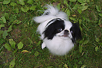 Japanese Chin<br />