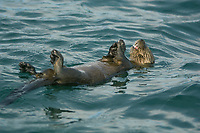 Marine otter Lontra felina ENDANGERED, eating at surface, Chiloe Island CHILE, Southern Pacific Ocean
