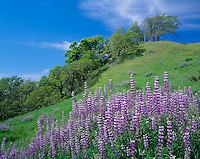 Redwood National Park, CA<br /> Meadow with riverbank lupine (Lupinus rivularis) and rolling hills with Oregon White Oaks (Quercus garryana) on Bald Hills road near Childs Hill Prairie
