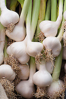 Allium sativum Garlic Picardy White fresh picked bulbs with stems