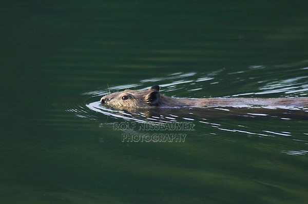 American Beaver,Castor canadensis, adult in creek swimming, McDonald Creek, Glacier National Park, Montana, USA, July 2007