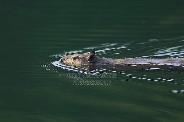 American Beaver,Castor canadensis, adult in creek swimming, McDonald Creek, Glacier National Park, Montana, USA, July 2007