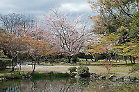 A large cherry blossom tree stands in the centre of the garden at Shosei-en, Kyoto