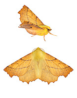 70.234 (1913)<br /> Canary-shouldered Thorn - Ennomos alniaria