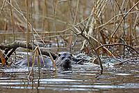 Europäischer Fischotter, Fisch-Otter, Otter, Lutra lutra, river otter, European otter, La Loutre d'Europe, Loutre européenne, loutre commune
