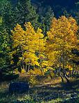 Autumn Aspen,White Mountains,Arizona