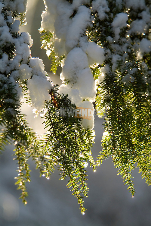 Detail of a snow covered pine tree.