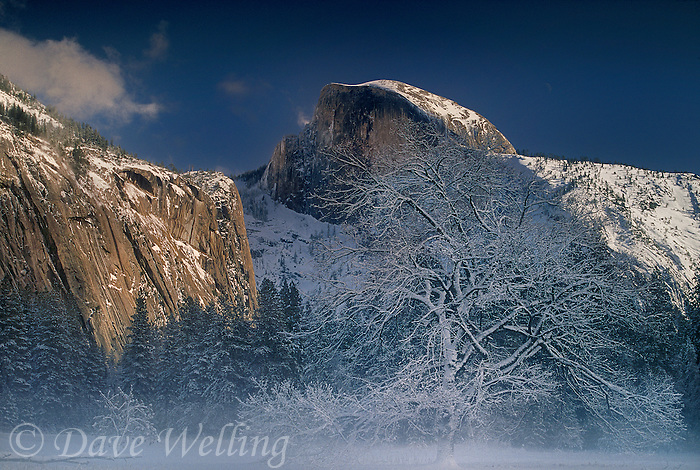 762701057 a snow covered black oak quercus kelloggii sits in fog shrouded light framed by half dome during a clearing winter storm in yosemite national park in california