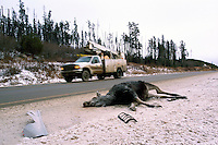 Road Kill / Roadkill - Body of Dead Moose (Alces americana) killed in Highway Accident, Northern BC, British Columbia, Canada