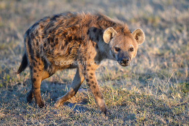 WWW.ACEPIXS.COM<br /> March 6, 2016 New York City<br /> <br /> Hyena in Maasai Mara National Reserve on March 6, 2016 in Kenya.<br /> <br /> Credit: Kristin Callahan<br /> web: http://www.acepixs.com
