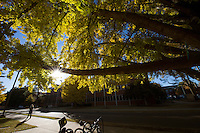 Patterson gingko tree - fall leaves.<br />  (photo by Megan Bean / &copy; Mississippi State University)