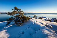 Liten tall på snöig klippa på Björnö i Stockholms skärgård.