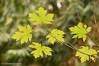 The underside of a big-leaf maple branch showing the leaf design.