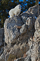Mountain Goat, Cliff, Snake River Range, Alpine, Wyoming