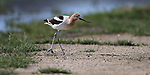 An American Avocet feeds along Washoe Lake, north of Carson City, Nev. on Wednesday, June 7, 2017. <br />