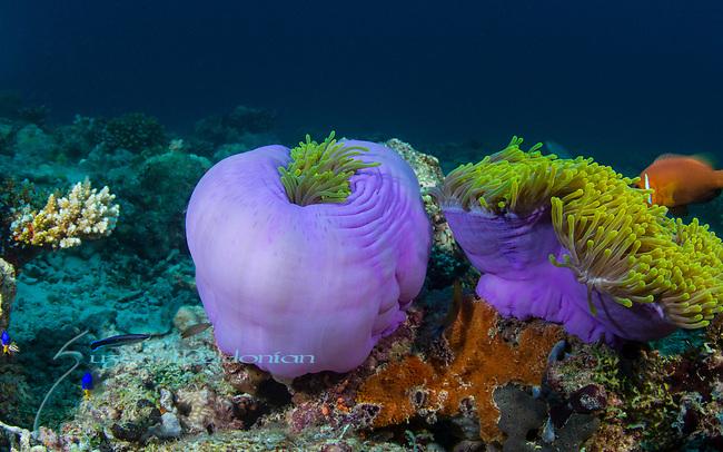 Purple Anemones, Maldives