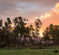 Farmland in South Westland with totara trees at sunset, West Coast, New Zealand, NZ