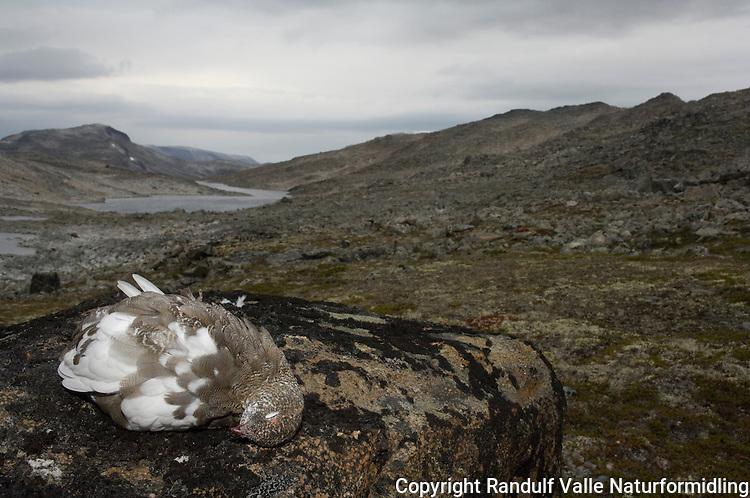 Nyskutt fjellrype ---- Rock ptarmigan