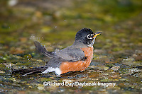 01382-049.11 American Robin (Turdus migratorius) bathing, Marion Co. IL