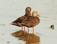 Mottled duck pair, female preening