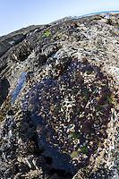 Gezeitentümpel, Rockpool, Lithotelme, Rockpools, Lithotelmen, Felsküste, Felsküsten, Küste, Meesesküste, Gezeiten, Ebbe und Flut, Niedrigwasser. Tide pools, rock pools, Tide pool, rock pool. Frankreich, Bretagne. Steinseeigel, Stein-Seeigel, sitzt in selbst in den Fels gegrabenen Mulden, Paracentrotus lividus, Strongylocentrotus lividus, Toxopneustes lividus, purple sea urchin, rock sea urchin, L'Oursin violet, Seeigel, Echinoidea, Sea urchins, urchins, sea hedgehogs, Échinioïdes, Échinides, Oursins, Hérissons de mer, Châtaignes de mer