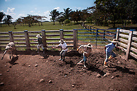 Dec. 14, 2011 - Yopal, Colombia. llaneros (cowboys) catch a calf for branding. © Nicolas Axelrod / Ruom