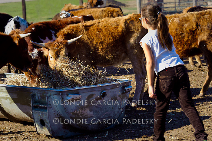 Maddy tosses hay to the roping steers.On the ranch in  San Luis Obispo, California