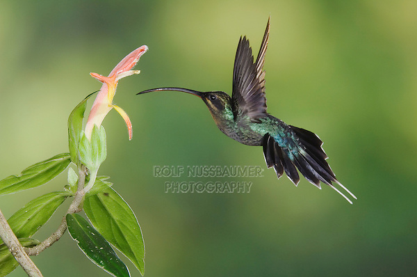 "Green Hermit, Phaethornis guy, male in flight feeding on ""Snakeface"" flower , Central Valley, Costa Rica, Central America"