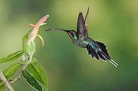 "Green Hermit, Phaethornis guy, male in flight feeding on ""Snakeface"" flower , Central Valley, Costa Rica, Central America"