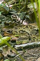 Venemous Fer-de-lance snake, Costa Rica, Central America.