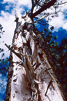 TREES.Lightning-Struck Tree.
