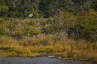 A white horse enjoys grazing alongside the Beagle Channel in Tierra del Fuego, Patagonia