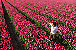 Dutch tulip fields thriving on land that was once sea.  Photos by Albert Beukhof