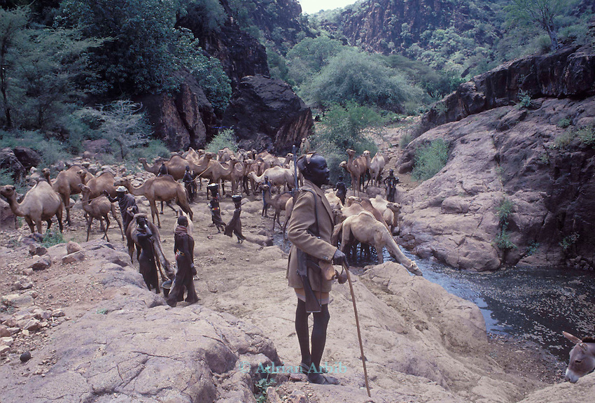 Turkana  Nomads watering their livestock  nr. Lokitaung...An armed  guard watches  over them as the area is prone  to raidng from neighbouring tribes...Northern Kenya.....