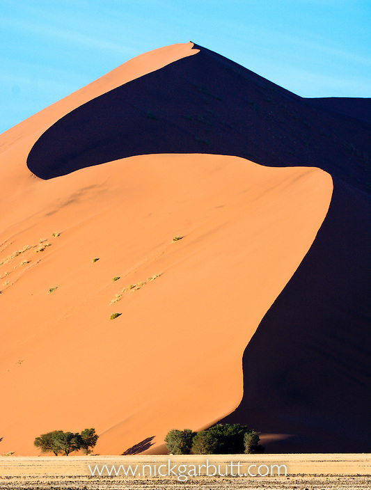 Giant sand dunes with Camelthorn Acacia trees (Acacia erioloba) at their base. Sossusvlei, Namib Desert, Namibia.