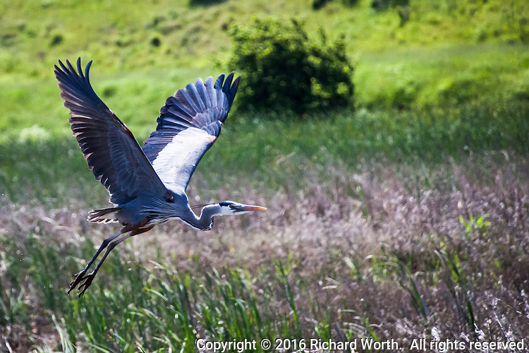 A GBH, Great Blue Heron, takes off against a mostly green background in the wetlands of Coyote Hills Regional Park.