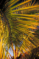 palm fronds in golden morning light. Caribbean.