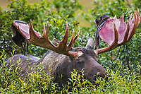 Bull moose with velvet shedding from antlers  feeds on green willow leaves, Denali National Park, Alaska