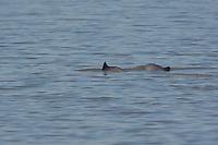 Schweinswal, Braunfisch, Kleiner Tümmler, Kleintümmler, Phocoena phocoena, common harbor porpoise