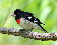 Adult male rose-breasted grosbeak in spring migration