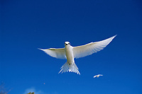 bird, white fairy tern, Gygis alba, Midway Atoll, Northwest Hawaiian Islands, Hawaii, Pacific Ocean