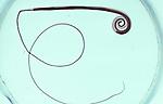 Adult Human Whipworm (Trichuris trichiura), the intestinal roundworm that causes Trichuriasis. LM X2