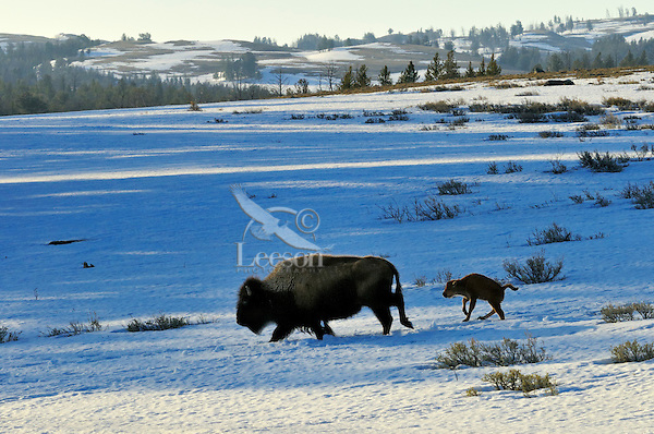American Bison (Bison bison) cow with very young calf trudge across snow covered grasslands in early spring, Western U.S..